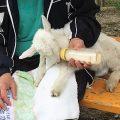 大石公園でミルクを飲む子ヤギ