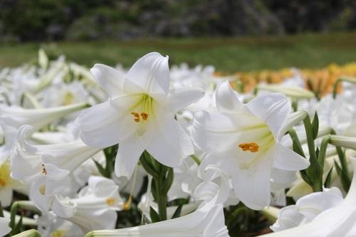 伊江島ゆり祭りの2018年4月の開花状況は?