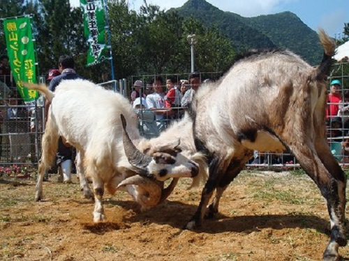 那覇市「第六回大石公園ゆり祭」山羊たちも参加