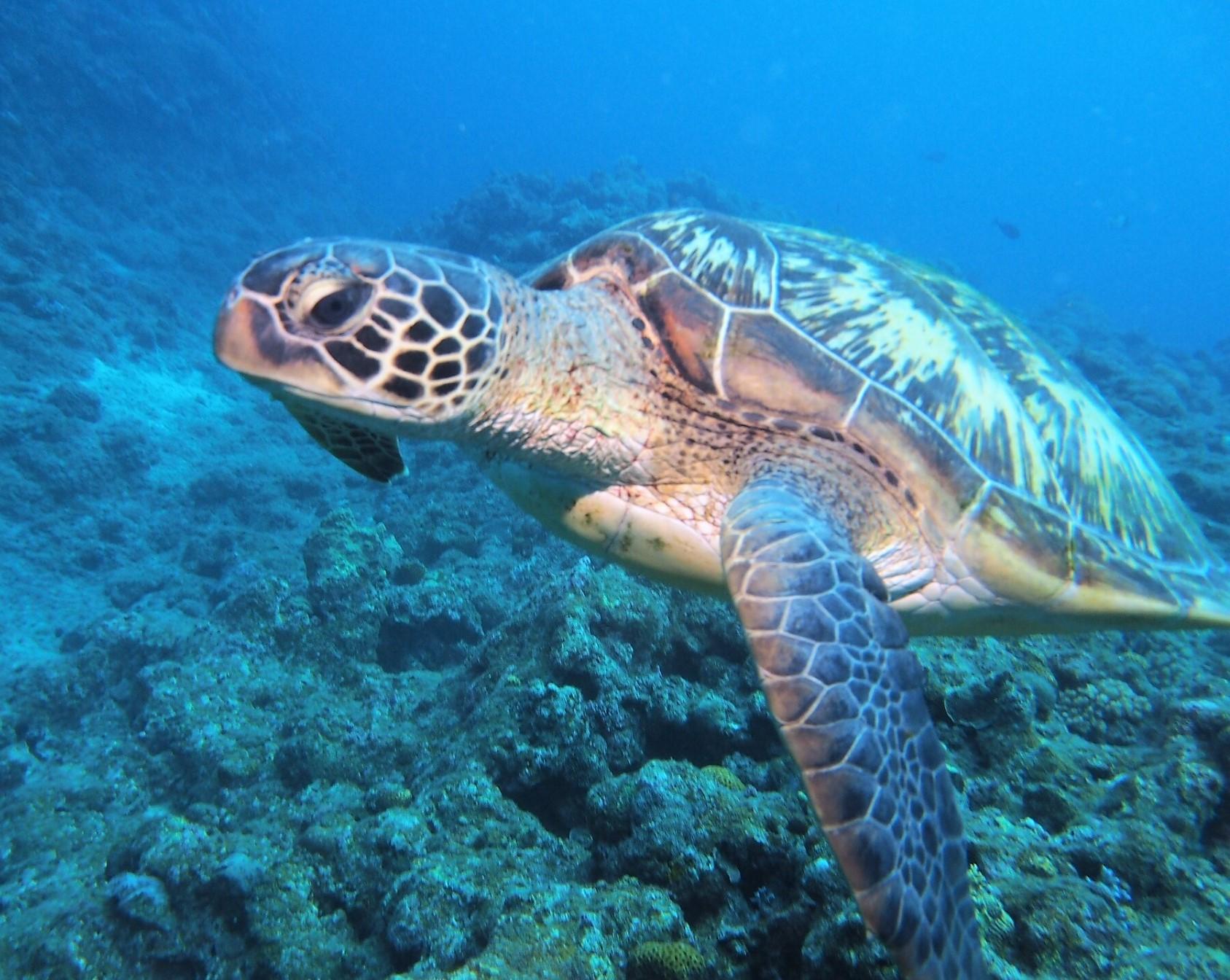 慶良間諸島「阿嘉島」でウミガメとシュノーケリング