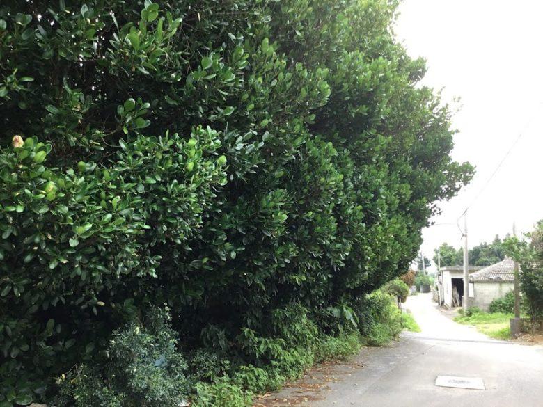 細い路地をはいっていくとフクギ並木がある
