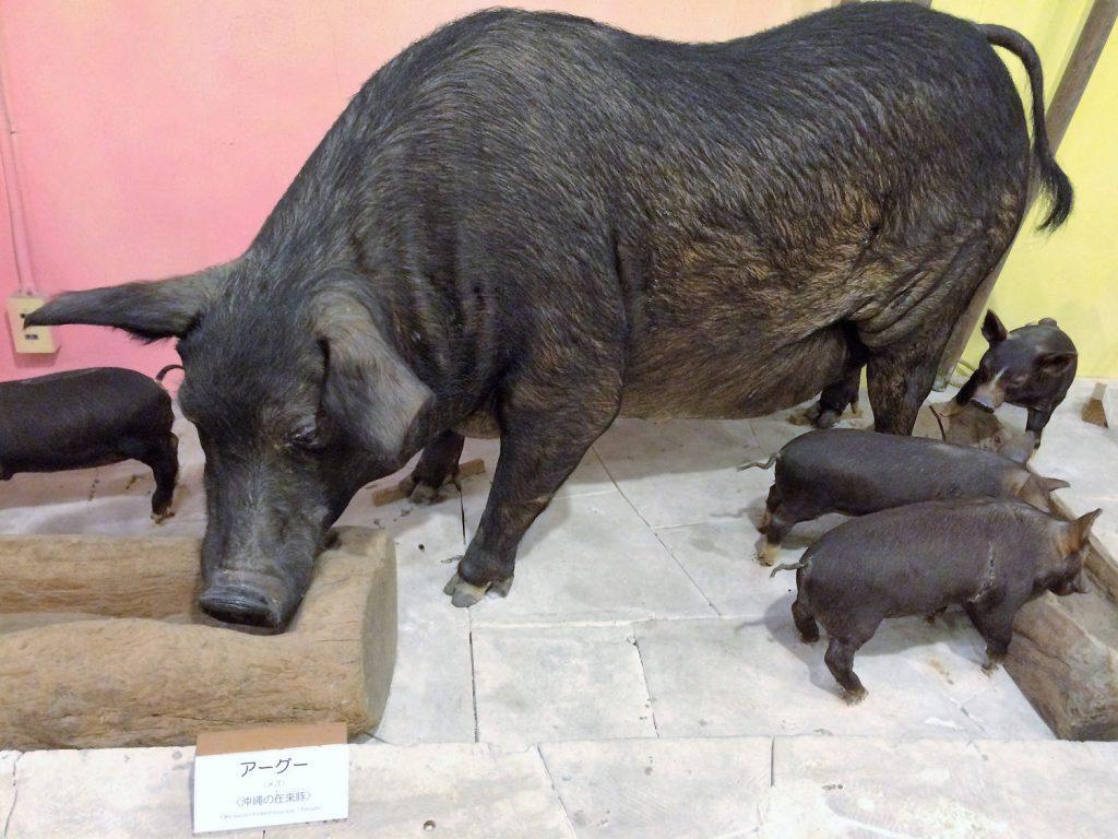 沖縄本島北部「やんばる」の生活と自然がテーマの「名護博物館」のアグー豚