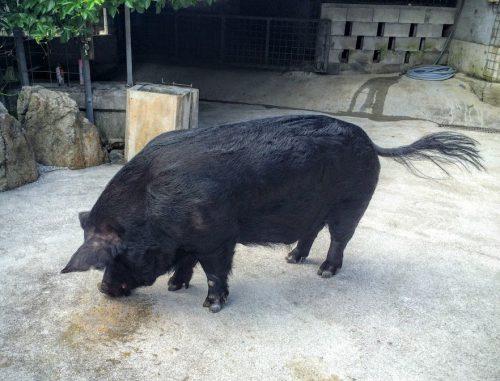 名護の「アグー村」アグー豚のうまさの秘密は?
