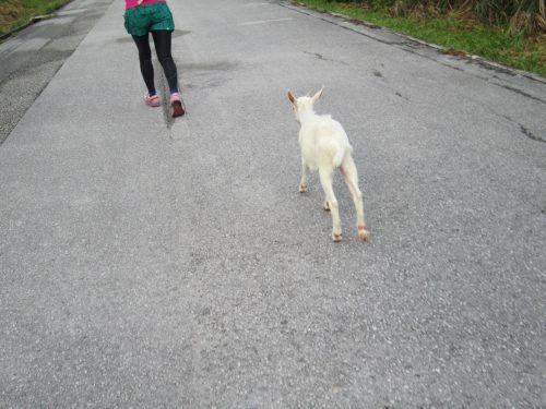 ヤギの応援。沖縄本島最北の島、月あかりで走る伊平屋ムーンライトマラソン