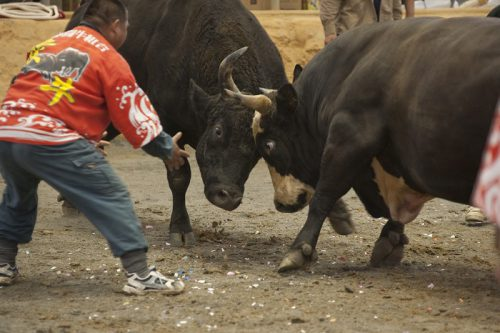 唯一のドーム型闘牛場で熱い戦い、石川多目的ドーム