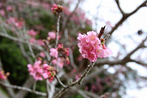 一足先に咲く、2017年もとぶ八重岳桜まつり!!