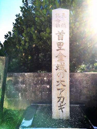 ケコ散歩~首里金城町の石畳は上から下へ首里金城の大アカギ