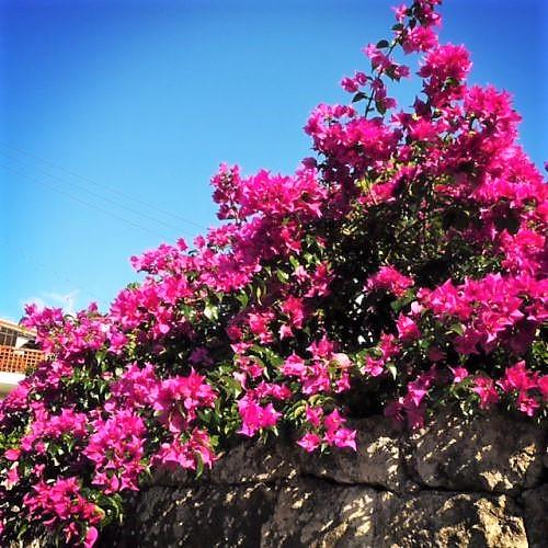 ケコ散歩~首里金城町の石畳は上から下へ花々が美しい