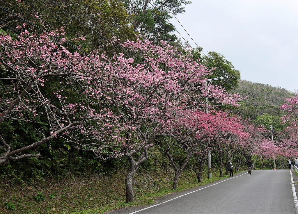 沖縄の桜は日本一早い、さくら祭り八重岳