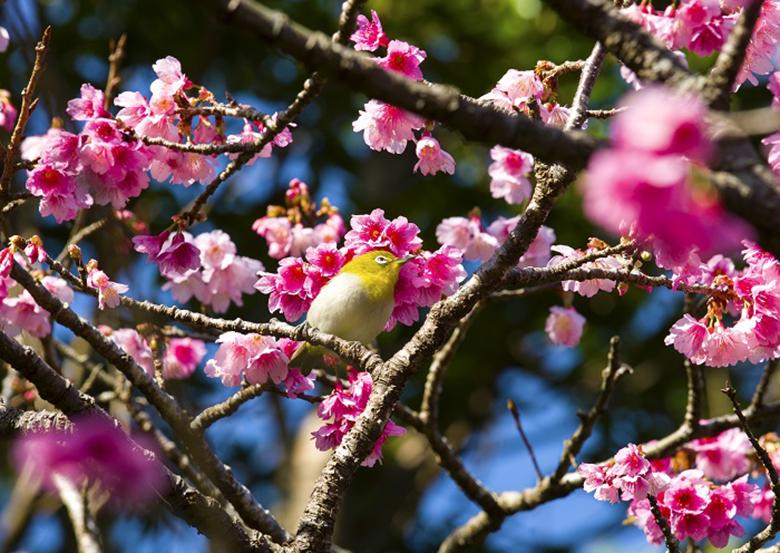 沖縄の桜は1月下旬から咲き始める「名護さくら祭り2020」
