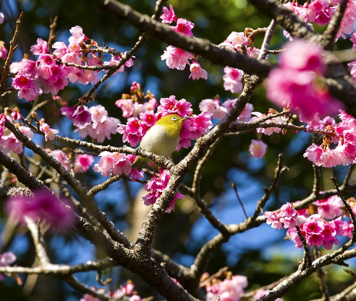 沖縄の桜は1月下旬から咲き始める「名護さくら祭り」