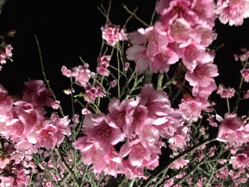 沖縄の桜は日本一早い、さくら祭り今帰仁城