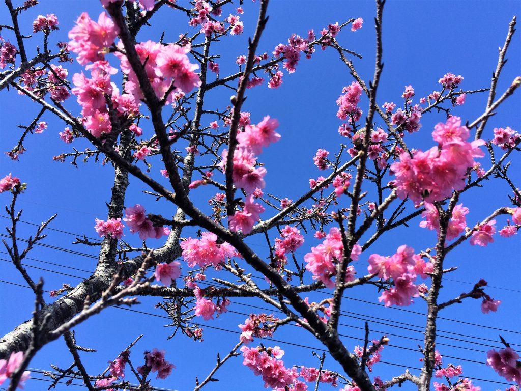 名護城さくら。沖縄の桜は日本一早い、さくら祭り