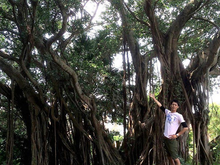 マングローブツアーで見られる幸せを運ぶ木「ガジュマル」