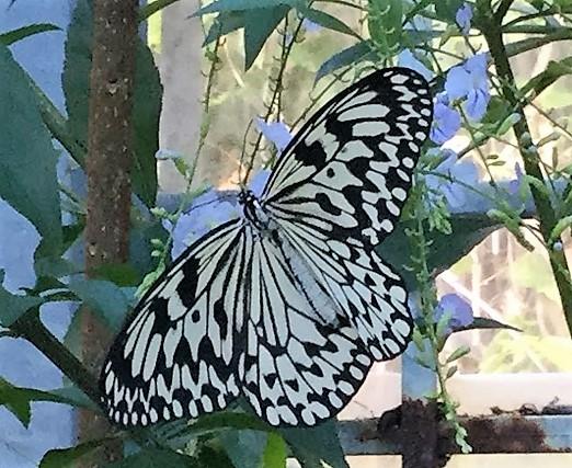 平和祈念公園に舞う沖縄だけに生息する蝶「オオゴマダラ」