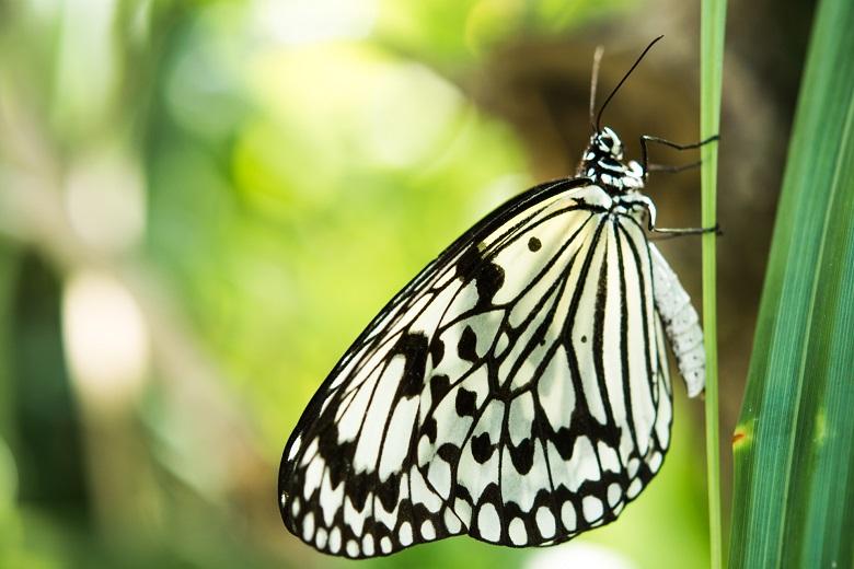 「オオゴマダラ」が平和祈念公園に舞う!沖縄だけに生息する蝶