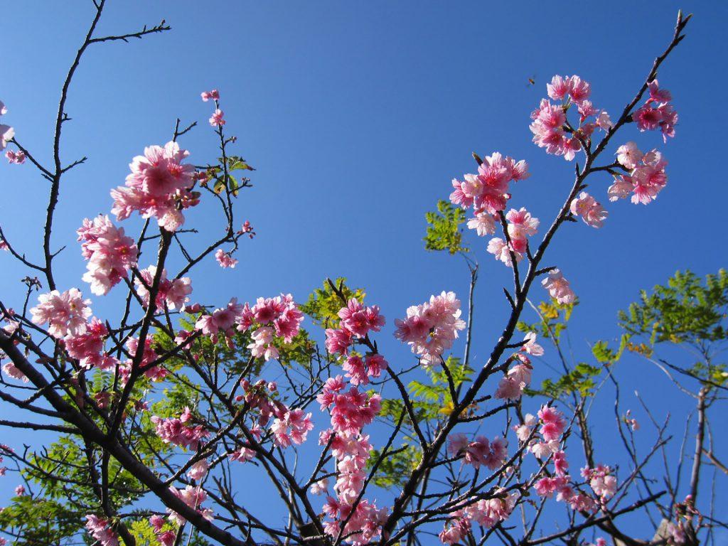 沖縄サクラ。沖縄の桜は日本一早い、さくら祭り