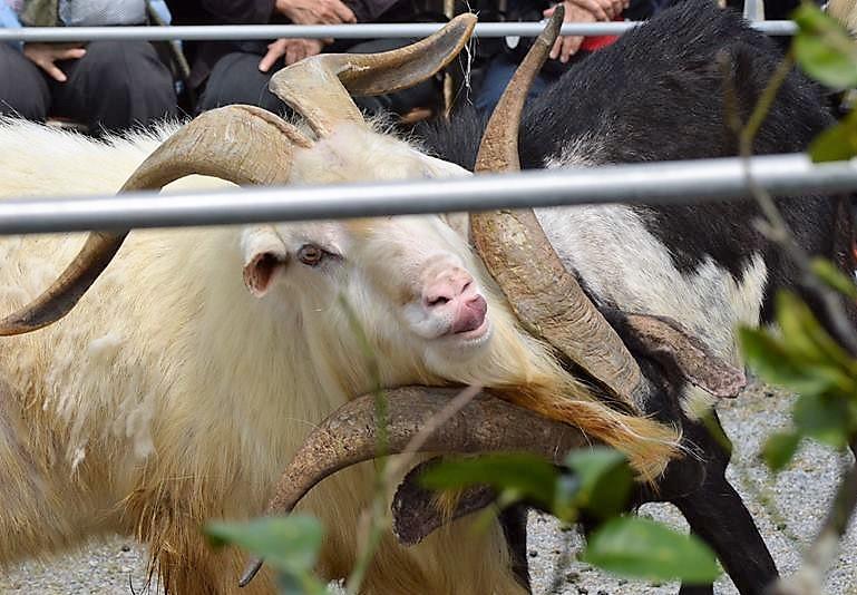 沖縄の闘牛じゃなくて闘ヤギ?!第15回勝山シークヮーサー花香り祭