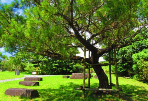 久米島の夏季限定バスくーみん号で五枝の松