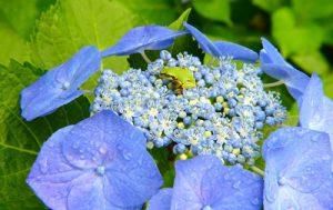 梅雨時は30万輪のアジサイが咲き誇る「よへなあじさい園」
