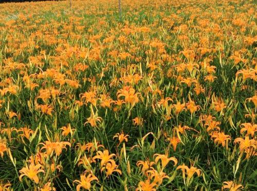 沖縄のクワンソウはオレンジ色の綺麗な花。食べれるの?!