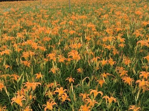 沖縄のオレンジ色の綺麗な花。クワンソウって食べれるの?!
