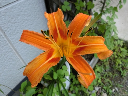 沖縄のオレンジ色の綺麗な花。クワンソウって食べれるの