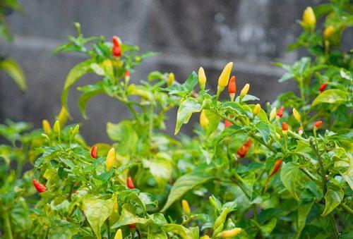 沖縄野菜を家庭菜園で育てて、沖縄料理を作ろう♪