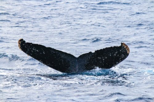 ホエールウォッチングなら沖縄!クジラとの遭遇率98%!