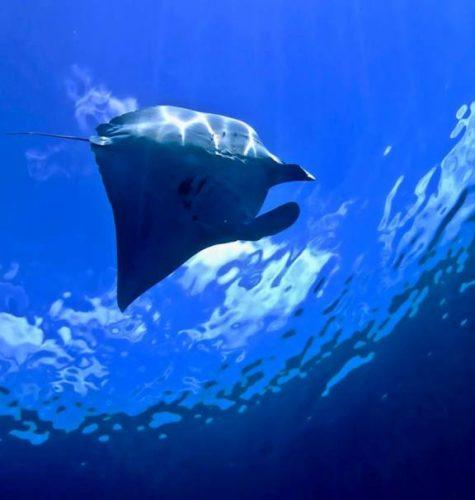 久米島の新ダイビングポイント「マンタステーション」日本でブラックマンタが!