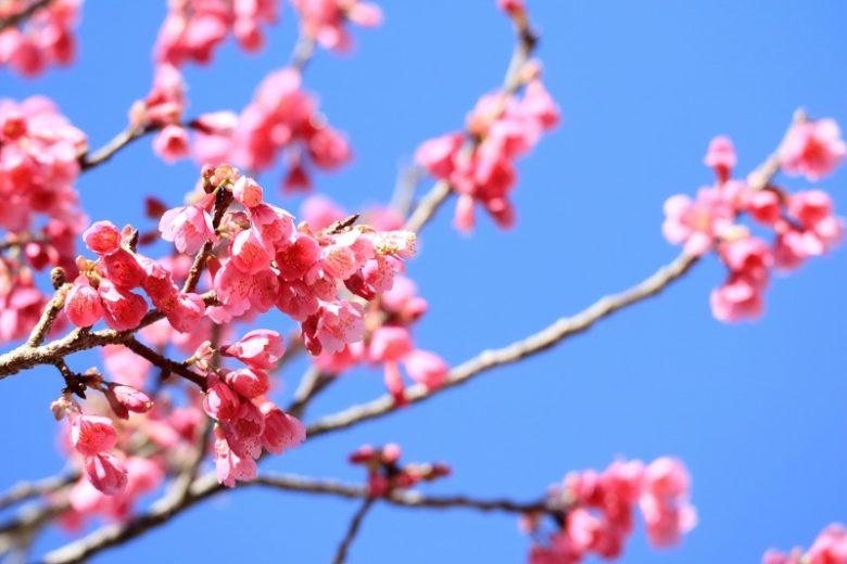 沖縄の桜は北から咲く那覇さくら祭り