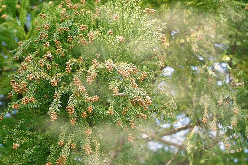 花粉症の季節到来!沖縄には杉花粉症がないのはなぜ?