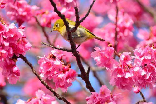 さくらまつりは那覇でも開催!沖縄の桜にまつわる謎とは?