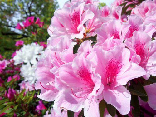 5万本のつつじが咲き誇る「第38回東村つつじ祭り」開催