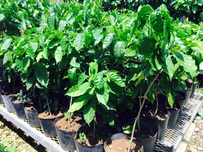 沖縄SV高原直泰氏とネスレが国産コーヒー豆を名護で特産