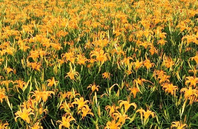 沖縄のクワンソウは眠り草!オレンジ色の綺麗な花が咲く!