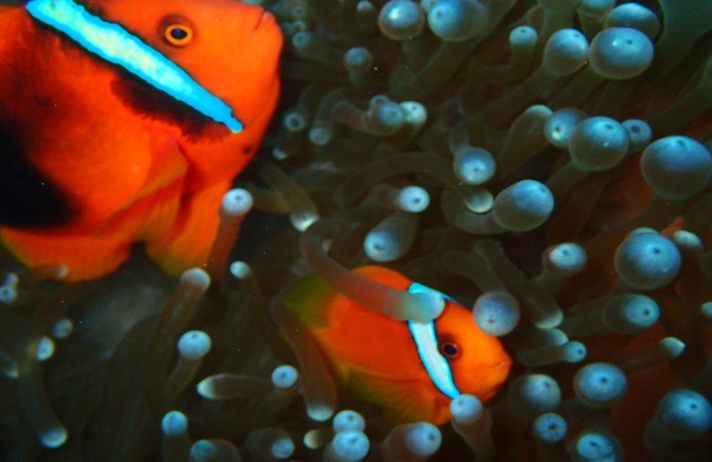 水中速報】ケラマブルーの海をダイビング