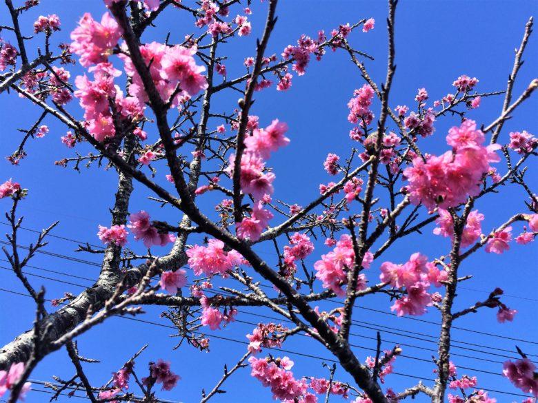 沖縄に咲き始めるいちばん桜