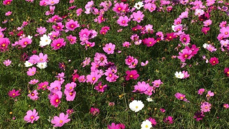 名護川上のコスモス開花状況
