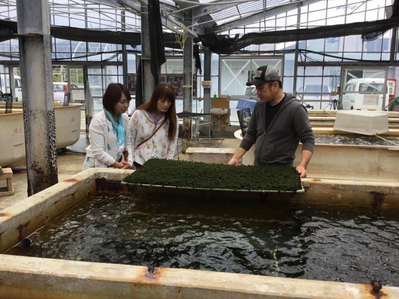 久米島の海ぶどうは海洋深層水によって育っています。