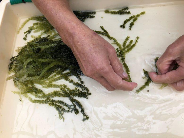 久米島の海ぶどう養殖