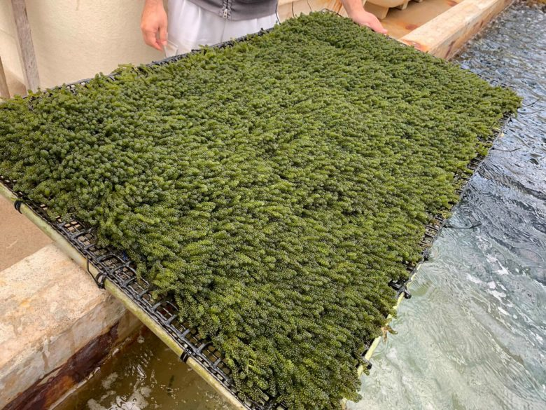 粒が揃った海ぶどうの養殖