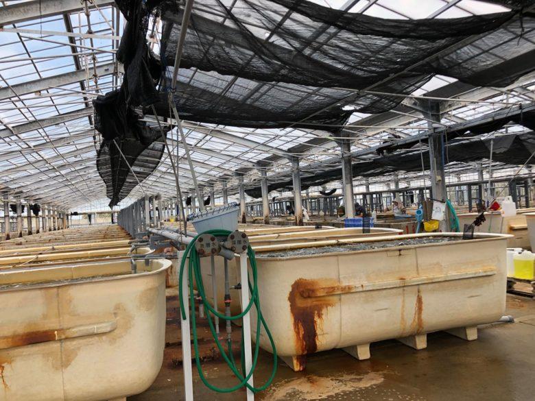 海洋深層水を使った海ぶどうの養殖