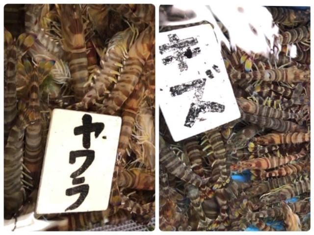 久米島の車エビの選別作業。