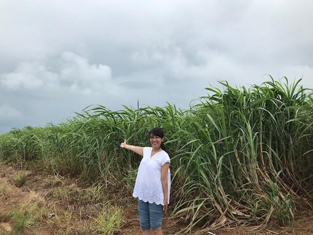 小浜島のサトウキビ畑