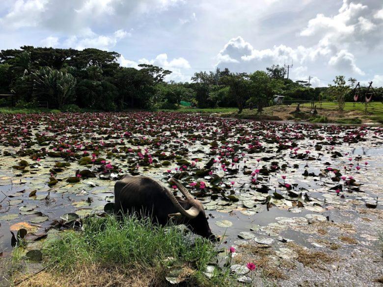 小浜島はいむるぶしの水牛池