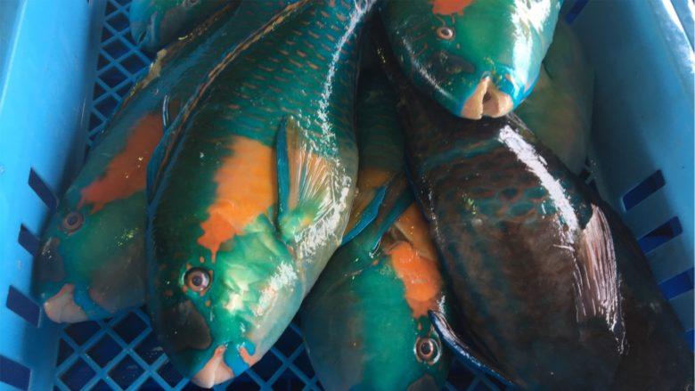 名護漁協でセリに出されたイラブチャー