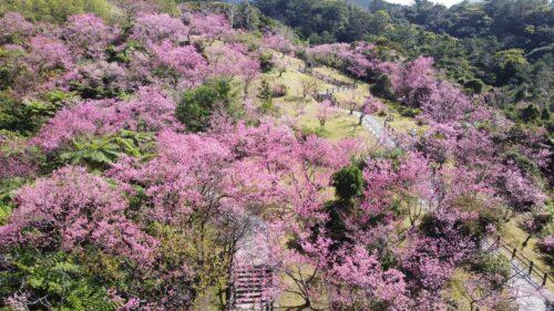 沖縄の桜は日本一早い!2021年沖縄桜まつりは?開花状況は?
